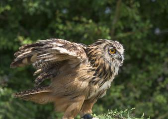 Eagle owl, budo budo