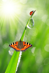 Wall Mural - fresh morning dew with ladybird and butterfly
