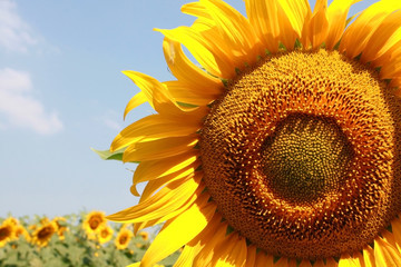 Closeup picture of a beautiful sunflower