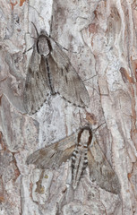Pair of Pine hawk moths, Sphinx pinastri