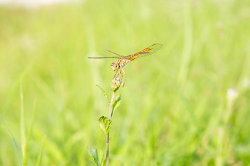 Red dragon fly