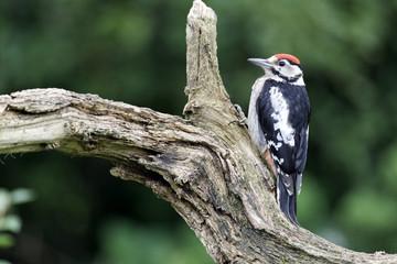 Fotoväggar - Great-spotted woodpecker, Dendrocopos major juvenile