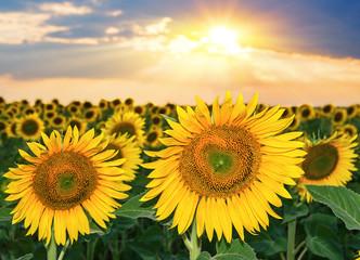 Fototapeta Sunset over the field of sunflowers