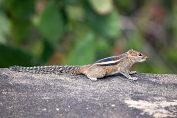 Three‑Striped Palm Squirrel
