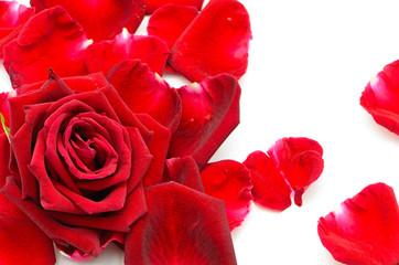 Wall Mural - red rose