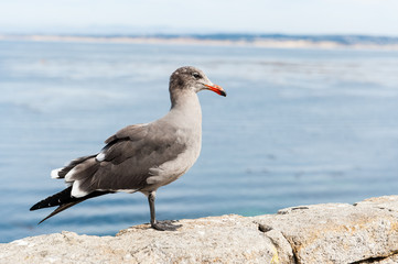 A grey and white seagull in front of the sea