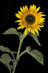 Sonnenblume auf schwarzem Hintergrund