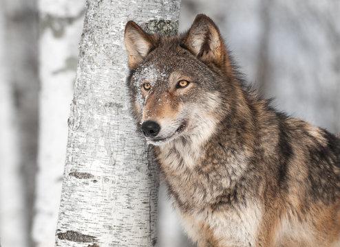Grey Wolf (Canis lupus) by Single Birch Tree