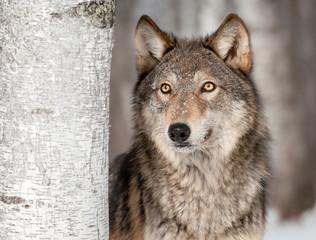 Foto auf Leinwand Wolf Grey Wolf (Canis lupus) Looks Up