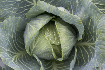 Dew drops on cabbage/cole