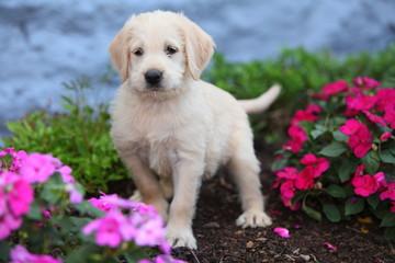 Labradoodle Puppy Stands in Garden