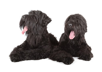Fotobehang - black russian terrier