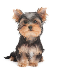 Pyppy of the Yorkshire Terrier