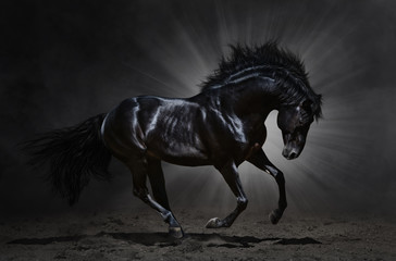 Wall Mural - Black Andalusian stallion gallops