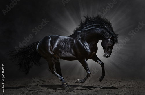 Fototapete Black Andalusian stallion gallops