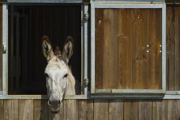 Tête de mule dans un box d'écurie