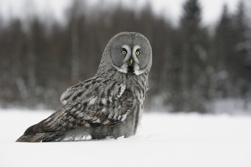 Fotoväggar - Great-grey owl, Strix nebulosa