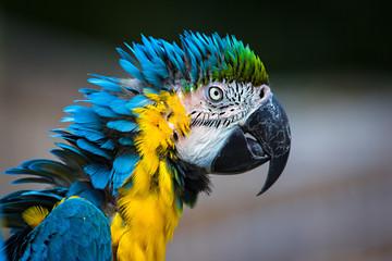 Parrot Macaw closeup