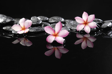 Still life with three frangipani and black pebbles