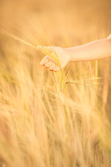 Hand holding wheat in autumn field