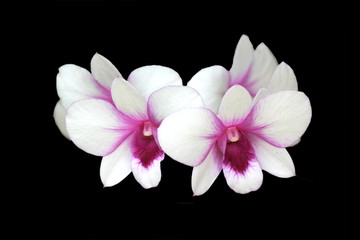 Beautiful white and pink orchid on black background