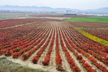 Wall Mural - Viñedo en otoño, La Rioja (España)