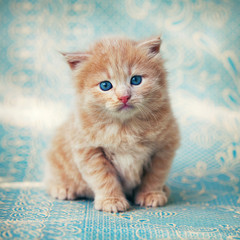 kitten on a blue background.