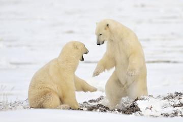 Two Polar bears play fighting.