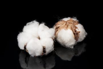 黒色の背景に綿の実