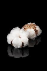 黒色の背景に2個の綿の実
