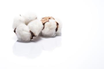 白背景に綿花