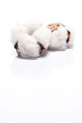 白背景に綿の実