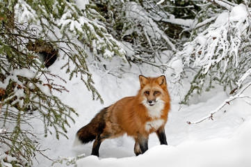 Wall Mural - Red Fox