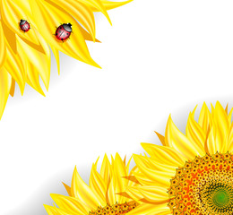 Sunflowers and ladybirds on white background