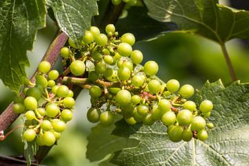 Weißwein Trauben - White Wine Grapes