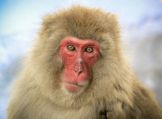 Japanese macaque gaze