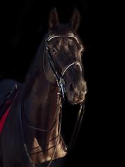 portrait of Beautiful black dressage horse at black background