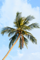 Coconut tree and blue sky background in sunny day