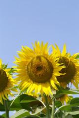 Printed roller blinds Sunflower sunflowers