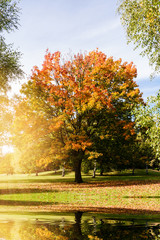 maple tree near a lake