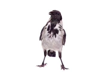Hooded crow (Corvus cornix) isolated on the white background