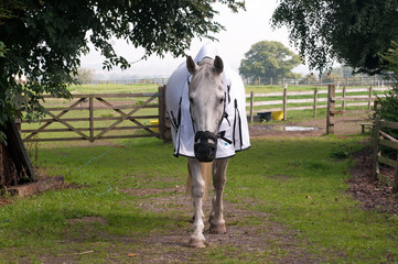 Horse wearing a grazing muzzle & fly rug