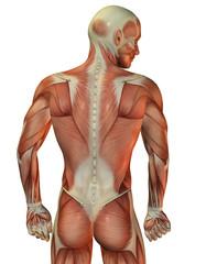 Wall Mural - Muskelstruktur Mann hinten