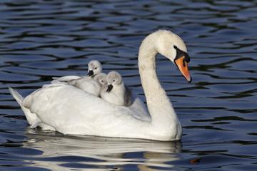Foto op Canvas Zwaan Mute swan, Cygnus olor