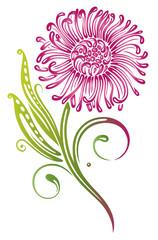 Chrysantheme. Sommerliche Blume mit Blättern. Pink, grün.