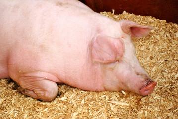 Wall Murals Cow Pink Pig Sleeping