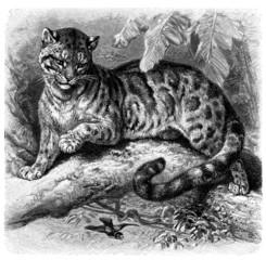 Clouded Leopard - Panthère Nébuleuse