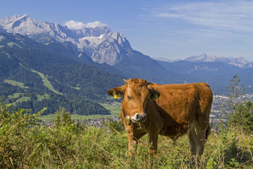 Fototapete - Kühe  vor Wettersteingebirge