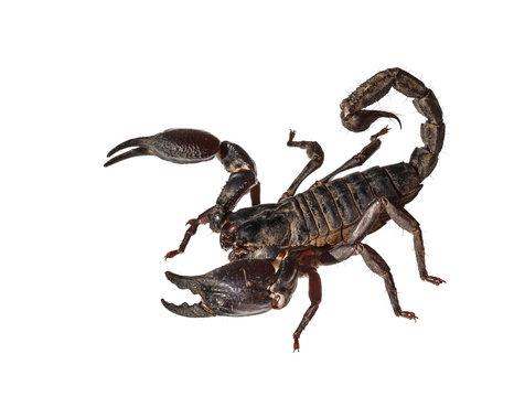 Asian giant forest scorpion (Heterometrus laoticus)