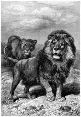 Lions Pair